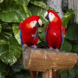 Royalty-Free Stock Photo: Couple of Macaws