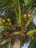 Coconut in a tree — Stock Photo