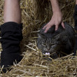 Barn cat — Stock Photo