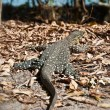 thumbnail of Monitor Lizard in the Whitsundays