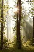 Spring woods at dawn