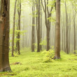 thumbnail of Spring beech forest