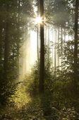 Morning sunlight in a misty woods