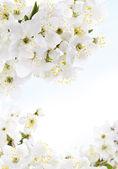 Bouquet di fiori bianchi, gelsomino su sfondo blu