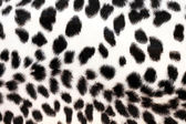 Bílý leopard