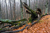 Old tree in autumn forest