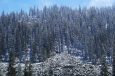 First snow on mountain pine forest