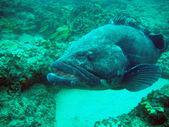 Grouper (Potato Bass)