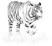 Tiger black and white Vector of is and illustration