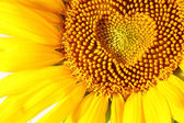 Stamens in the form of heart on a sunflower