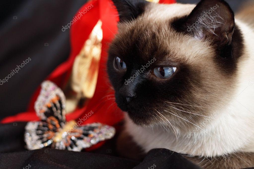 Gatto Siamese E Un Set Regalo Foto Stock Anmfoto 2744278