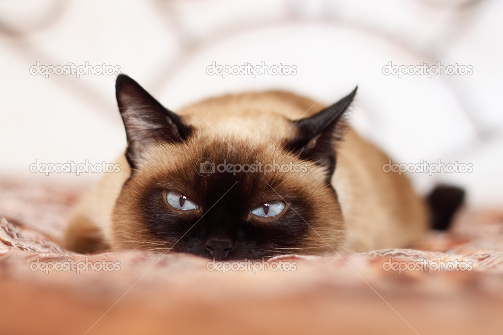 Siamese cat on a light background