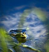 Fotografie žába v jezeře, sledování fotograf