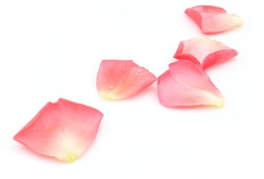 Rose petals on a white background stock vector