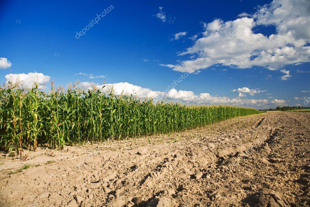 Side of cornfield