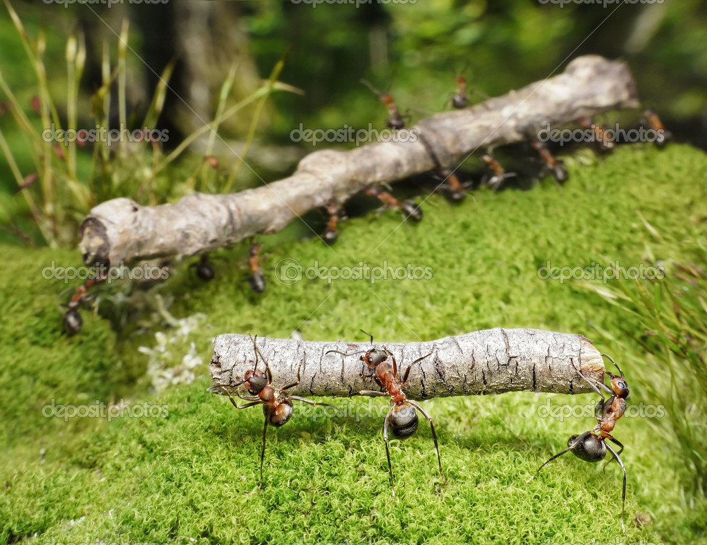 Team of ants carries logs