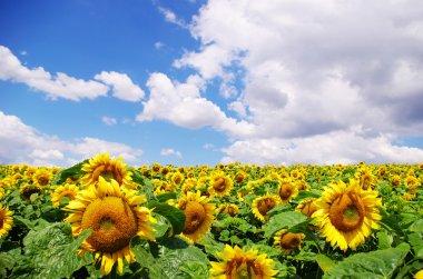 Sunflower field over cloudy blue sky stock vector