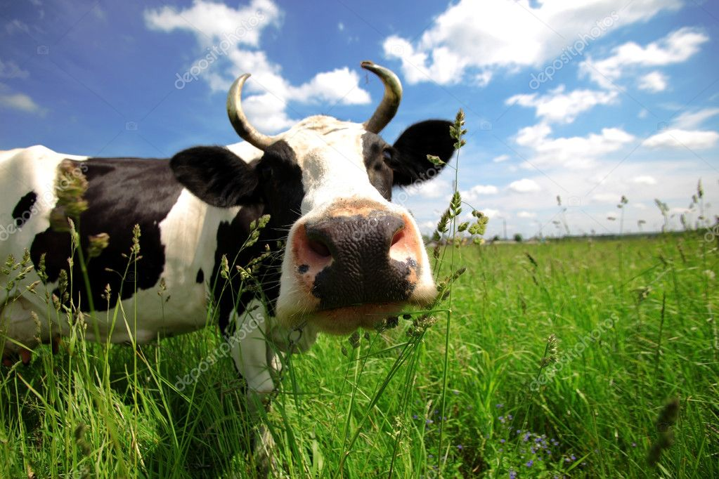 Funny cow in green field