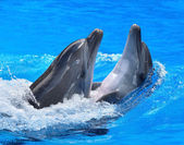 Photo Couple of dolphin in blue water.