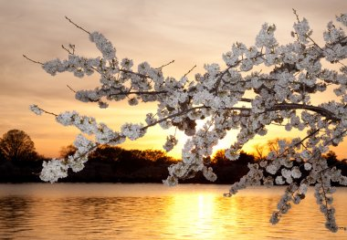 Cherry blossoms against sunset