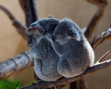 Koala Bears cuddling on a branch