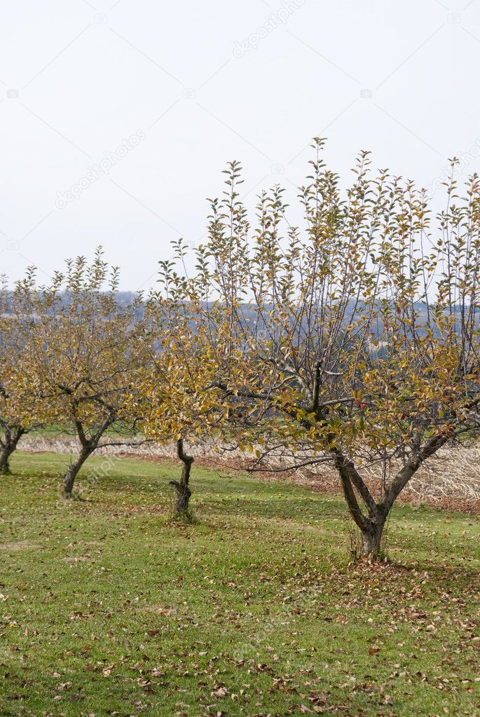 Apple orchard in the fall