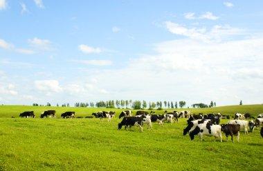 Cows stock vector
