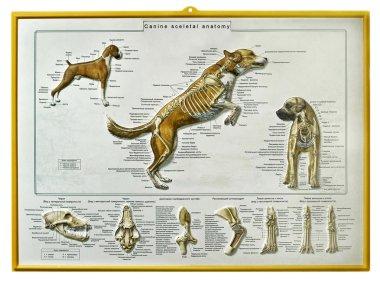 Canine skeletal anatomy