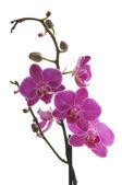 orchidea virág