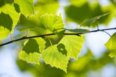 Green leaves season background