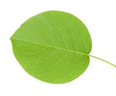 Apple leaf closeup stock vector