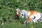 Fotografia tigre su erba