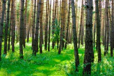 Morning summer forest stock vector