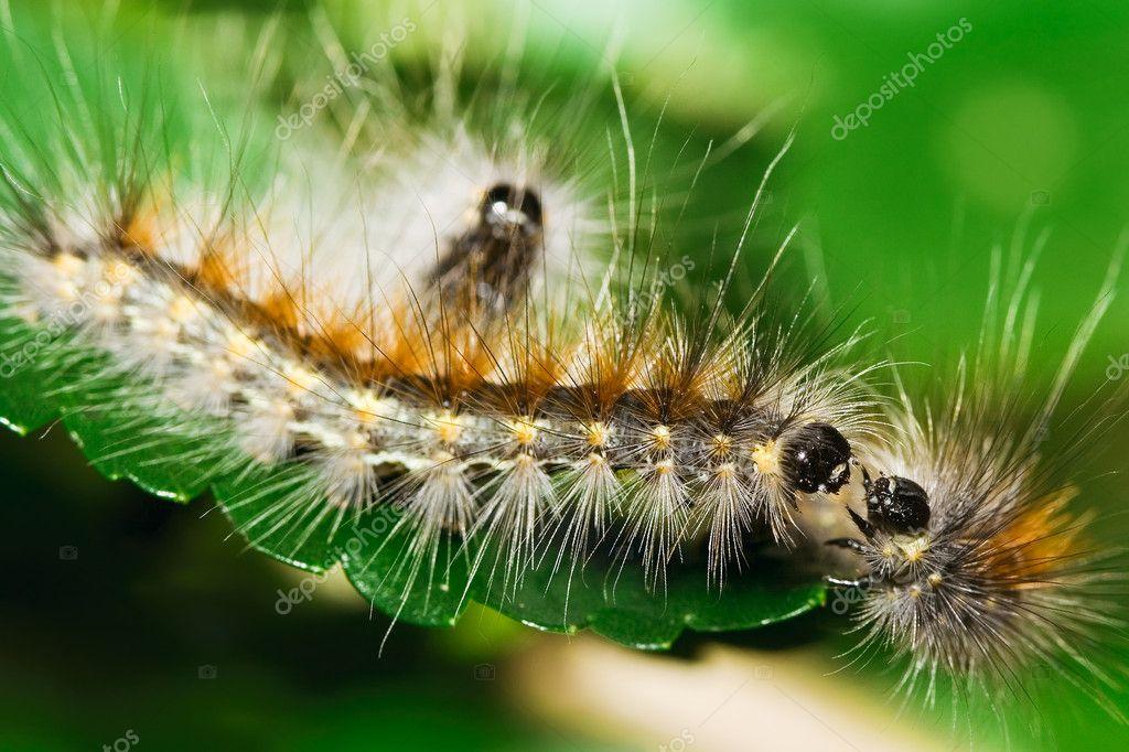 Three tussock moth caterpillars on mulberry leaf