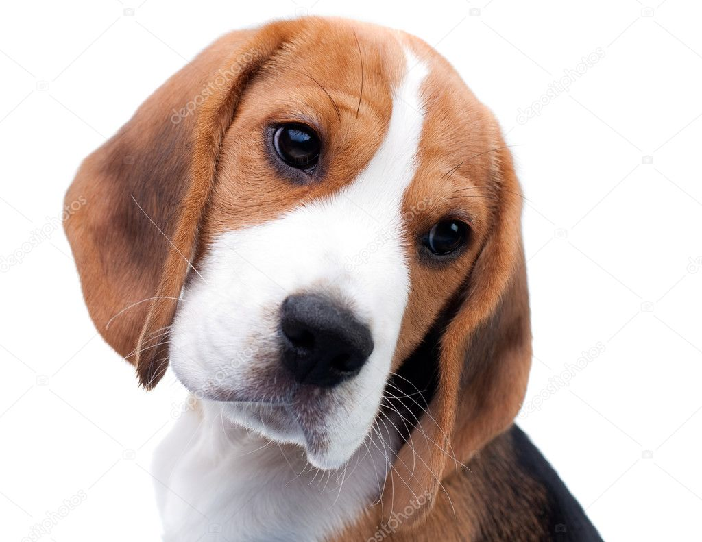 Must see Similar Beagle Adorable Dog - depositphotos_2720255-stock-photo-cute-beagle-puppy  Image_522035  .jpg