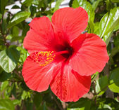 ibišek červený květ