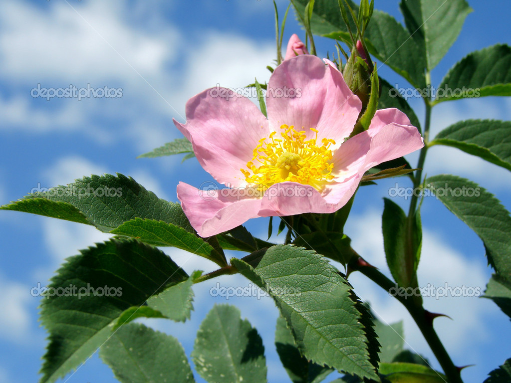 Pink wild rose (Rosa canina)