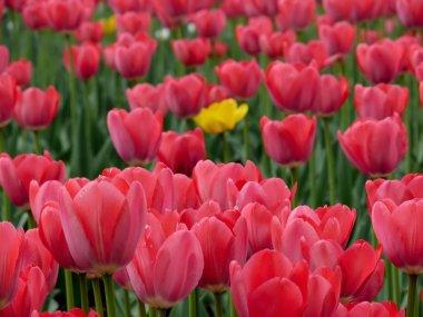 Tulips. A city.