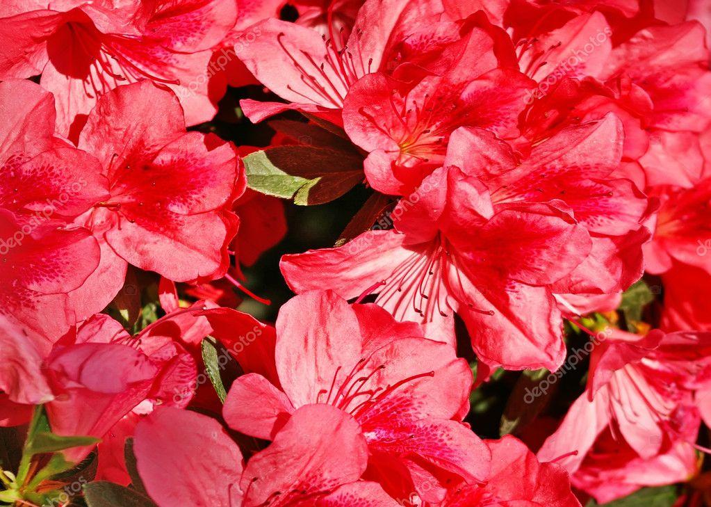 Azalia flowers background