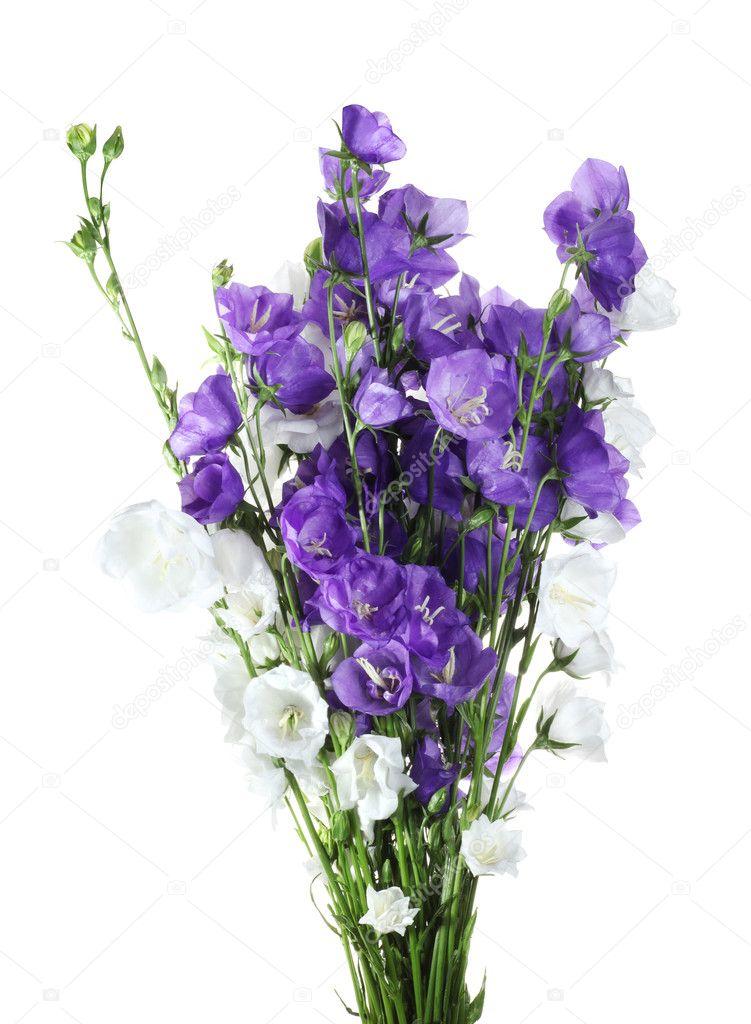 blaue und weiße Glocke Blumen — Stockfoto © Rozaliya #3333162