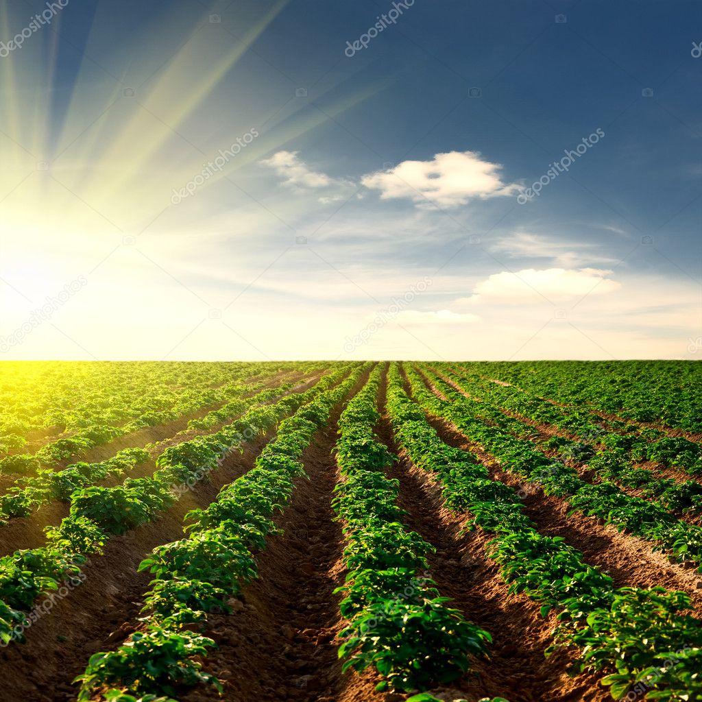 Potato field on a sunset