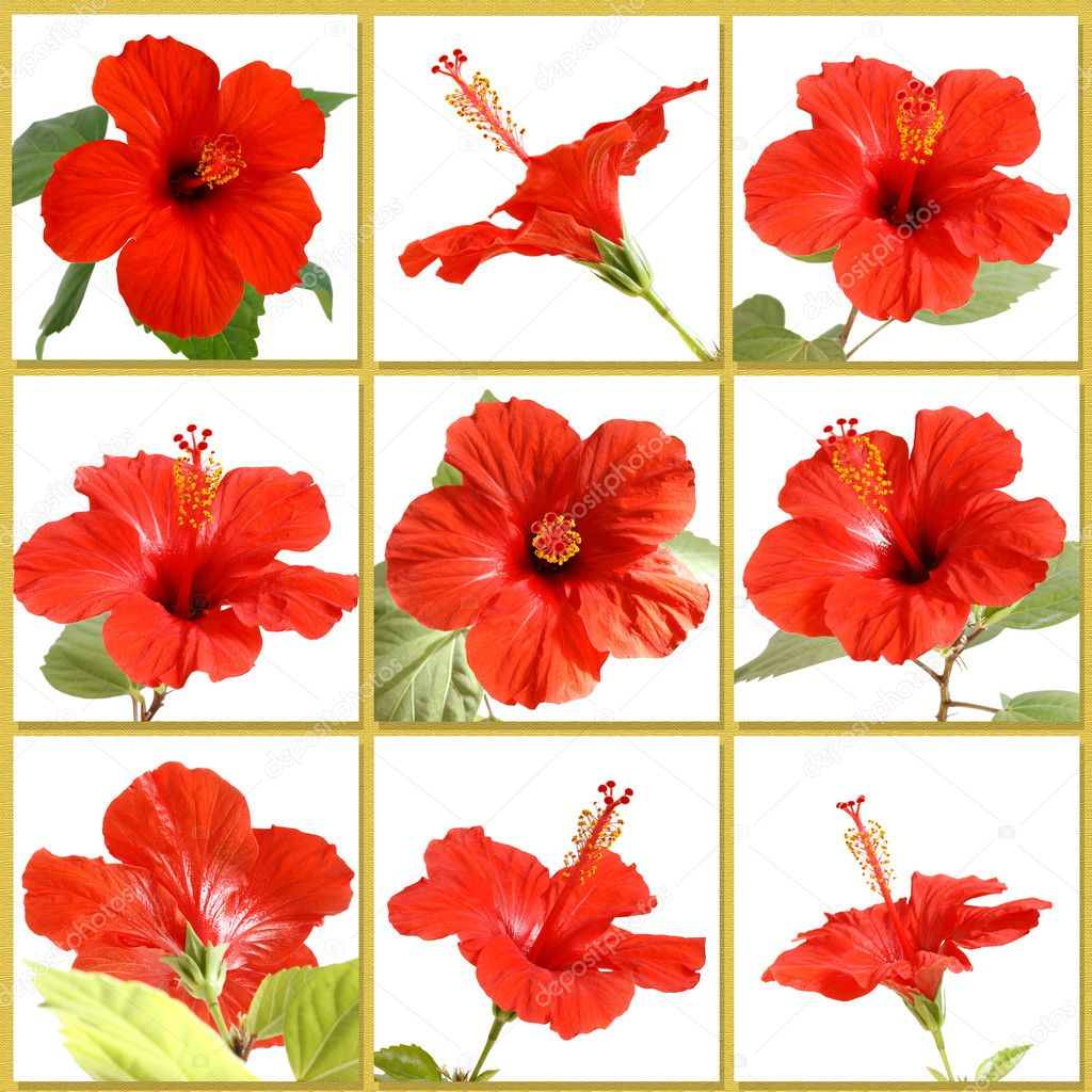 Hibiscus flower stock photo sergeykolesnikov 2767813 hibiscus flower stock photo izmirmasajfo Image collections
