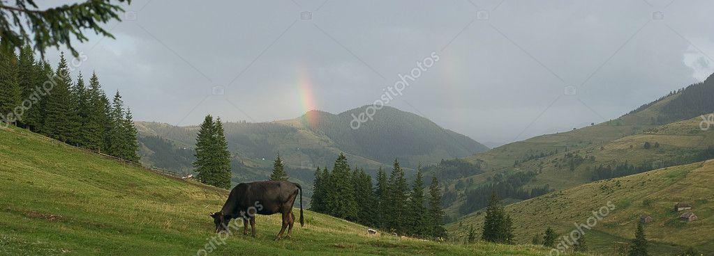Bull on the montain pasture in ukrainian