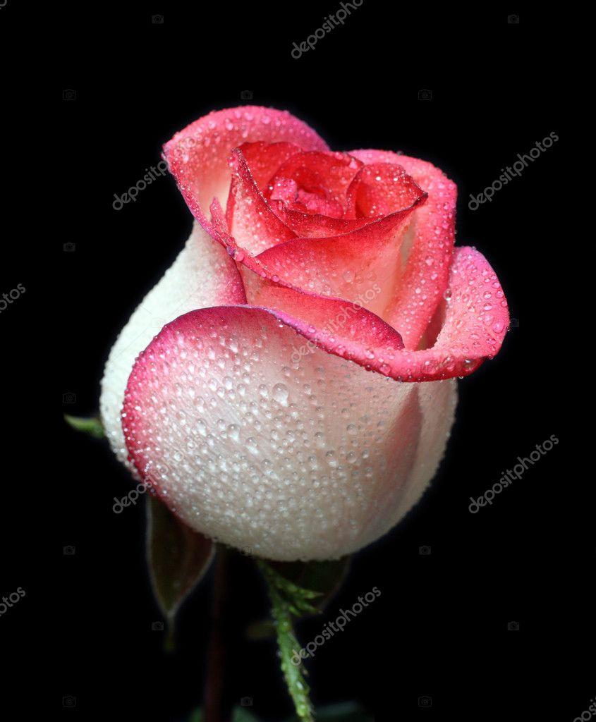 Weiß mit rotem Rand Rose - Stockfotografie: lizenzfreie