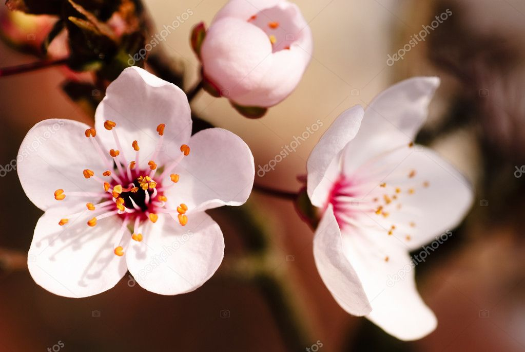 Asian plum blossom macro