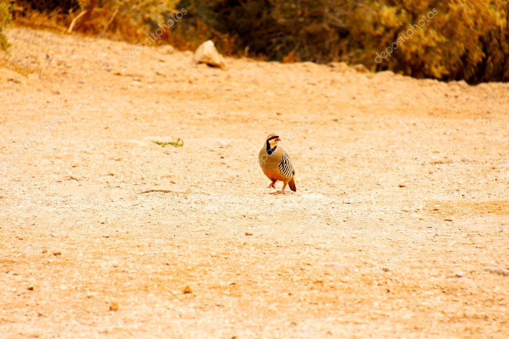 Partridge during one hunted in nature