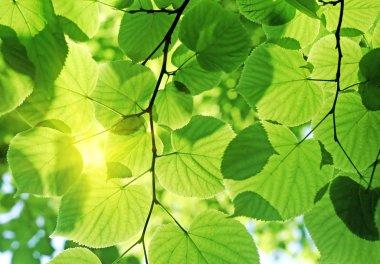 Fresh green foliage