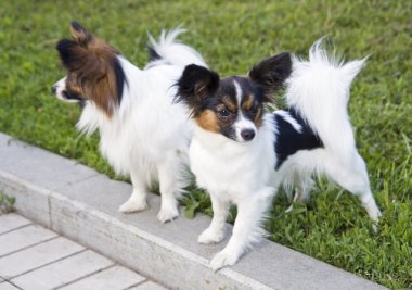 Dogs of breed papillon