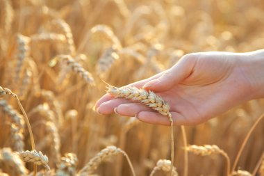 Woman hand with eer of wheat