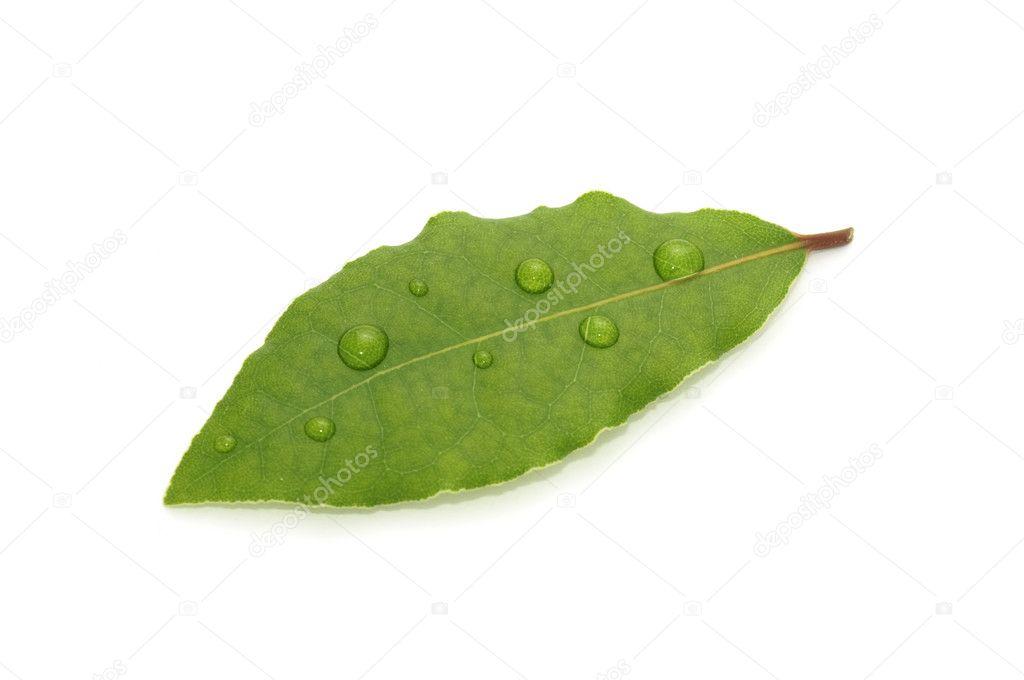 Green Bay Leaf with Dew Drops